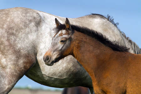 mare: Little grey colt against mare
