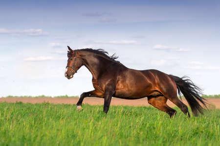 Hengst Lauf im grünen Frühlingsfeld