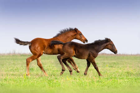 colt: Foals run togeather on pasture