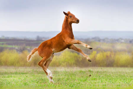 colt: Red foal play and jump on pasture