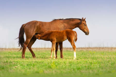 suckle: Red mare feeding a foal on spring pasture