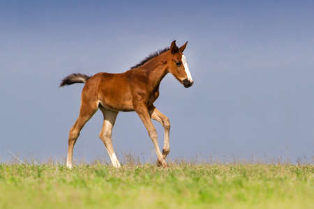 Bay foal in motion on green pasture