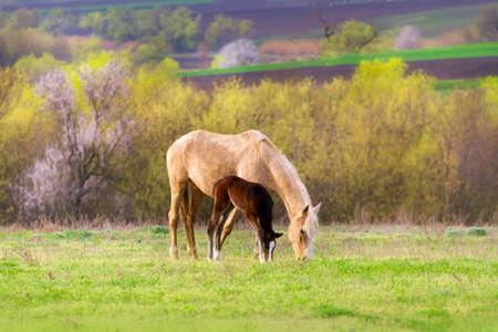 yegua: Potro con la yegua en el pasto Foto de archivo