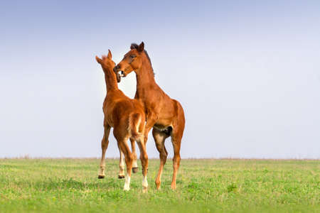 colt: Two colt play on green grass Stock Photo