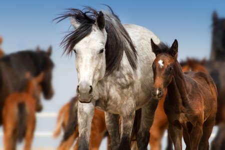 mare: Beautiful white mare with foal in herd