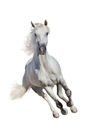 White andalusian horse with long mane run gallop isolated on white background