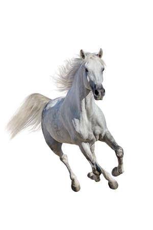 Weiße Andalusier mit langer Mähne Lauf Galopp auf weißem Hintergrund
