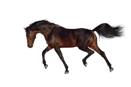 Bay stallion trotting on white background 版權商用圖片