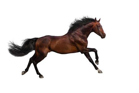 caballo: Bahía semental Galope de la corrida aislado en el fondo de White