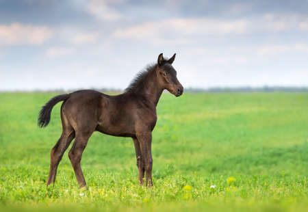 colt: Black foal exterior on flower meadow