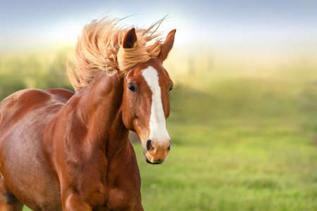 Mooi rood paard met lange manen portret in beweging