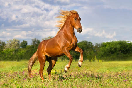 rearing: Red horse with long mane rearing up outdoor