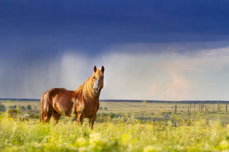 red horse: Red horse with long mane in flower field against rainy dark sky