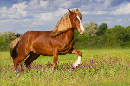 chestnut male: Beautiful red horse with long blond mane run in spring field with violet flowers