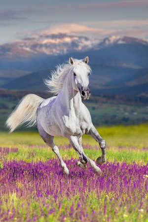 White stallion with long mane run gallop in flowers against mountains Stockfoto