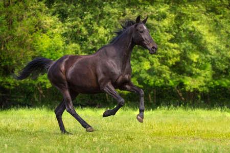 gelding: Black horse run gallop against trees in green field Stock Photo