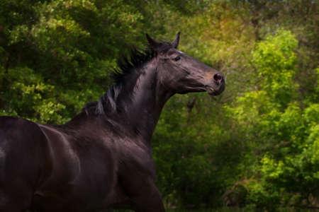lipizzaner: Dark horse portrait in motion against green trees