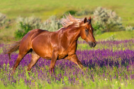 red horse: Red horse with long mane run in flowers at summer day