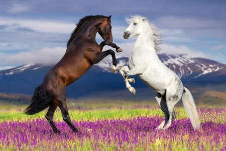 caballo: Dos caballo que se alza en contra de vista de la montaña en campo de flor