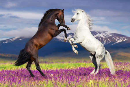 Two horse rearing up against mountain view in flower field
