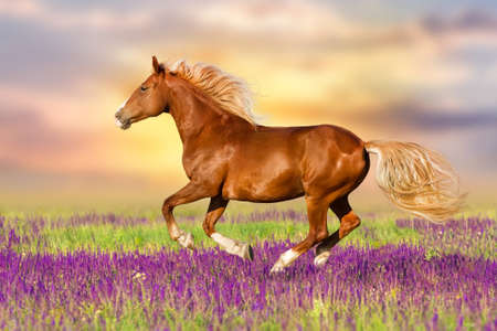 Red horse with long mane run in flowers at summer day