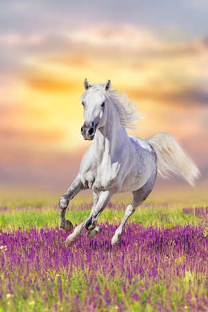 White horse run gallop in flowers against sunset sky Standard-Bild