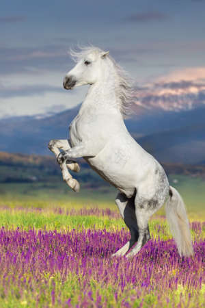 White horse rearing up in flowers