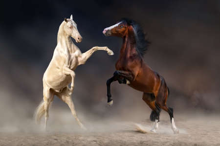 rearing: Two horses rearing up and playing against dark background Stock Photo