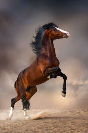 rearing: Beautiful bay stallion rearing up in desert dust at darkness