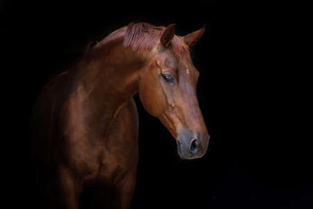 黒の背景に赤の美しい馬の肖像画 写真素材