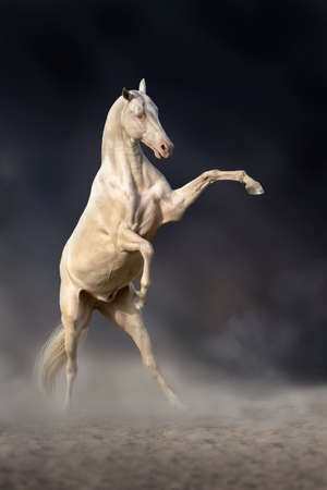 rearing: Beautiful achal teke horse rearing up against dark background Stock Photo