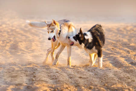 dogs play: Dogs play in sand dust at sunset light Stock Photo