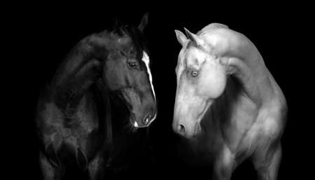 front view: Couple of horse in black background Stock Photo
