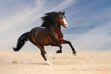 gelding: Bay horse run gallop in desert against sunset sky