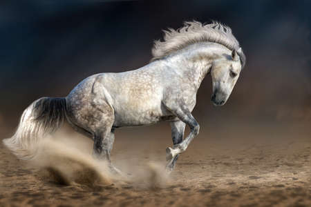 yegua: caballo andaluz gris en movimiento en el fondo dramático