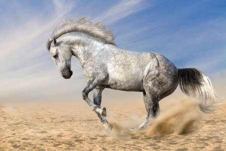 andalusian: Grey andalusian horse dressage