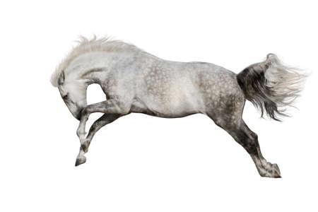 horse jump: White horse jump isolated on white background Stock Photo