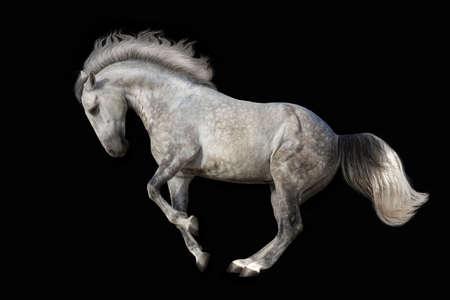 Beautiful grey horse dressage on black background