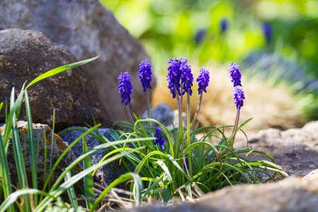 hyacinth: Beautiful blue muscari hyacinth
