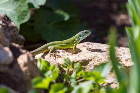 Green lizard in rock