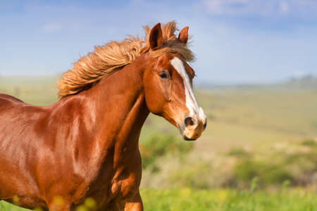 Red horse with long mane portrait in motion Imagens