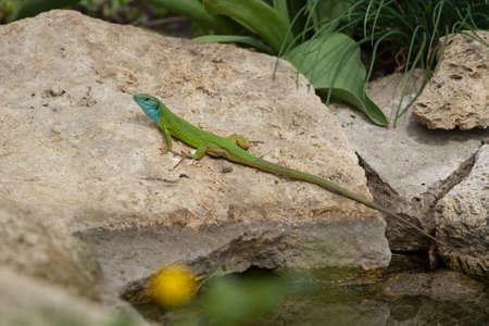 bilineata: Green lizard near the water