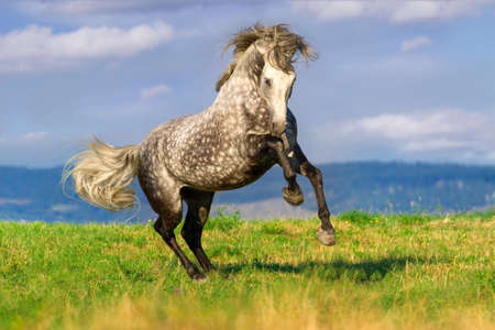 Beautiful grey andalusian horse with long mane run gallop against mountain view