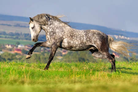 white color: Beautiful grey andalusian horse with long mane run gallop against mountain view