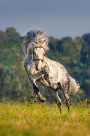 andalusian: Beautiful grey andalusian horse with long mane run gallop against mountain view