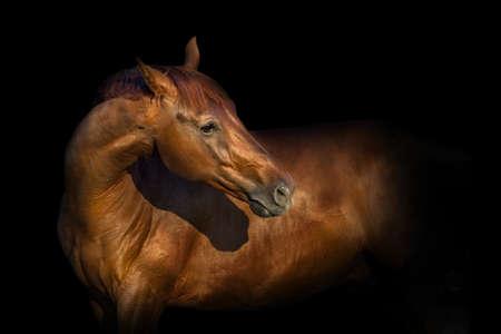 검은 배경에 고립 된 아름 다운 붉은 말 초상화