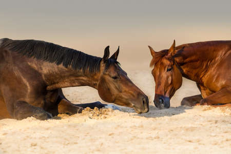colic: Two beautidul horse rest in sand