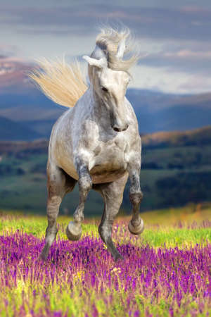 White horse with long mane run gallop in flower field against mountain view at sunset