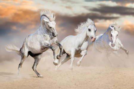 Three white horse with long mane run in desert dust against beautiful sky Stockfoto