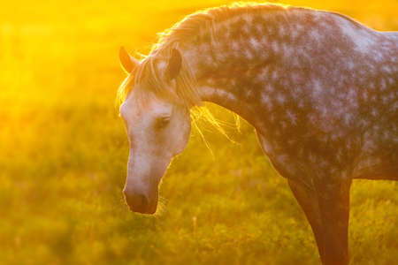 Grey andalusian horse portrait with long mane at sunset light
